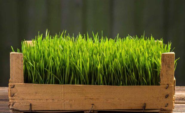 Jus d'herbe de blé avec l'extracteur Kuvings